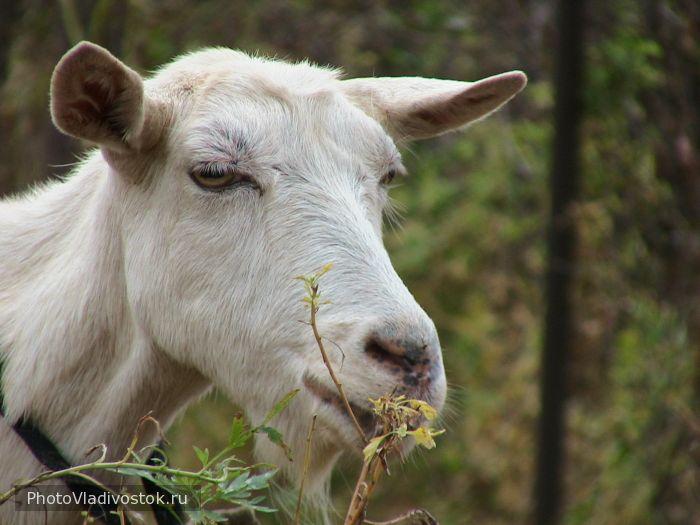 Коза. Природа. Фотографии Владивостока