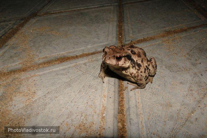 жаба Клава. Животные. Фотографии Владивостока